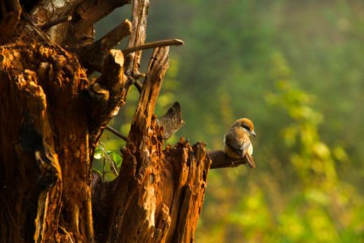 Common Shrike