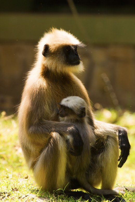 An infant gray langur feeling safe in it's mother's lap.