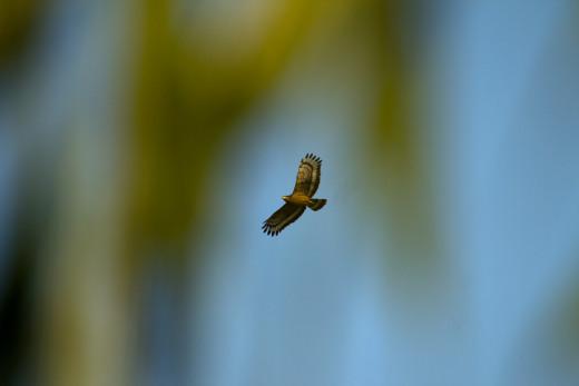 Serpent Eagle in flight