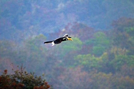 Malabar Pied Hornbill in flight