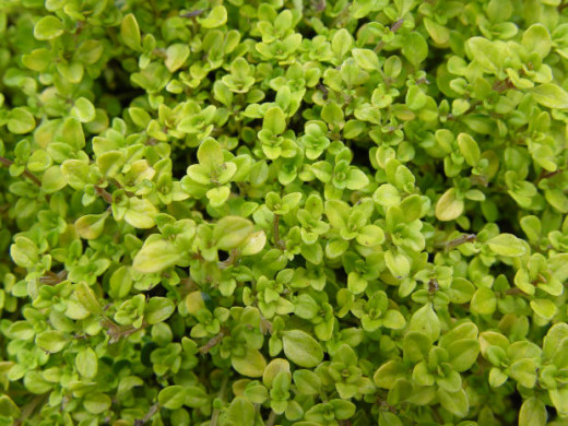 Thyme is easy to grow and prefers dry soil and warm/hot weather.