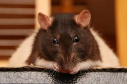 Billings is unfair to rats.