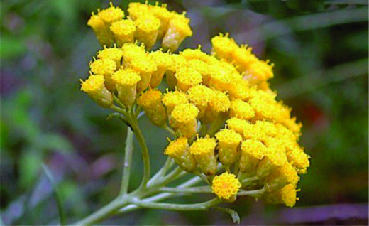 Owing to a naturally existing phenomenon, the Immortelle flowers do not wither or fade in colour even after being picked. However, this naturally occurring phenomenon found in Immortelle flowers cannot be transferred onto the human skin in any way.