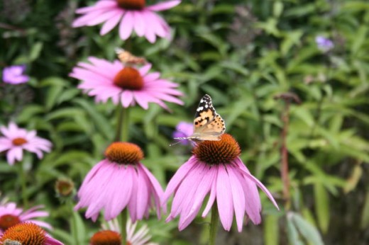 Perennial coneflowers are attractive to pollinators such as this butterfly.