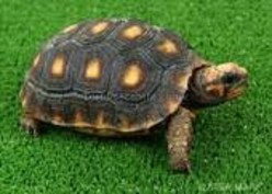 Why The Shell of Tortoise Looks Shattered