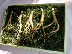 Ginseng Benefits For Memory