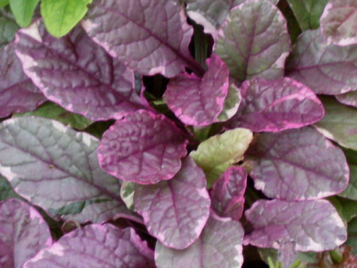 Ajuga is an excellent ground cover for light and partial shade. Ajuga has dark, low-growing foliage, from which flowers emerge each spring and early summer.