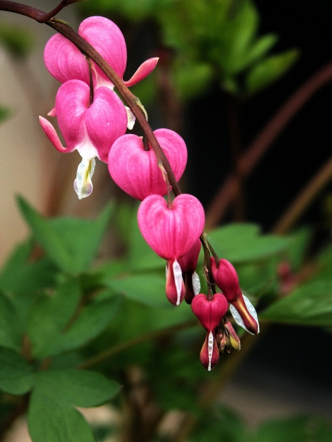 Bleeding hearts are amazing flowers and are a favorite amongst many gardeners for their eye-catching color and shape. These flowers prefer full shade to really take off and thrive. Keep them out of heat and direct sunglight for best results.