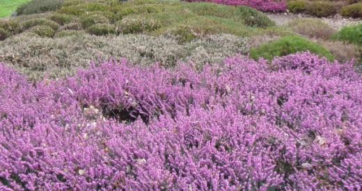 Scotland's fields of heather
