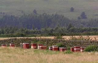 Beehives on a heathered moorland, west Britain.