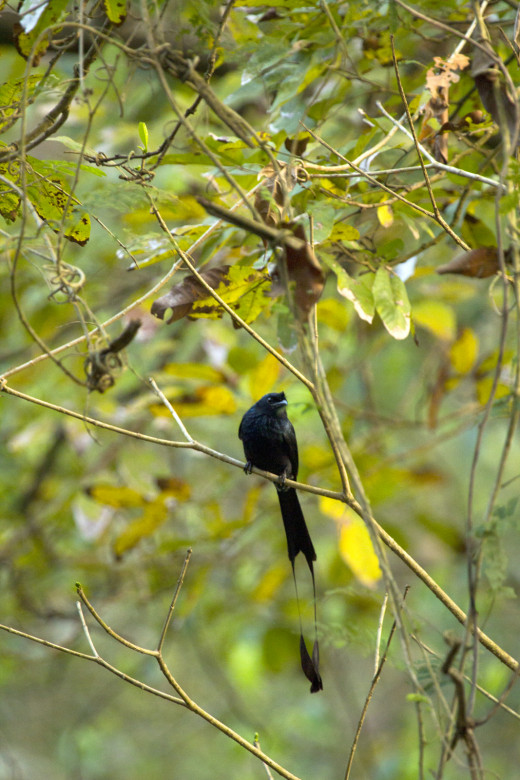 Racquet tailed Drongo