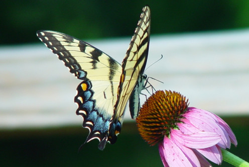 Who wouldn't want to welcome gorgeous butterflies into their garden?