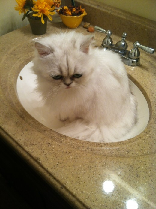 My beautiful Persian girl Lilly.  She takes her hygiene very seriously