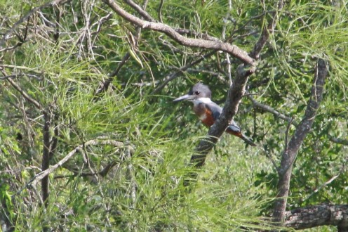 Ringed Kingfisher of the far bank in a tree