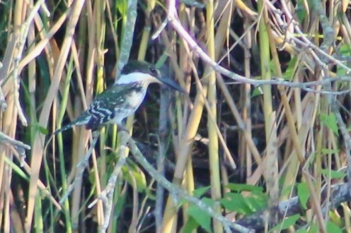 Green Kingfisher on the far bank perched.