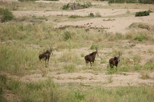 Rare Roan Antelope-the rivers are dry!
