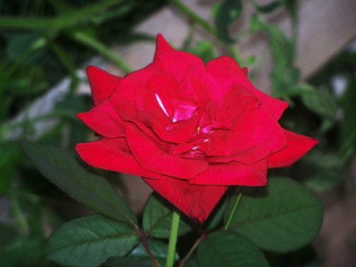 A beautiful rose, gift to the world...