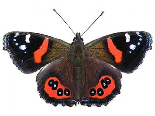 Photo Credit - https://en.wikipedia.org/wiki/New_Zealand_red_admiral