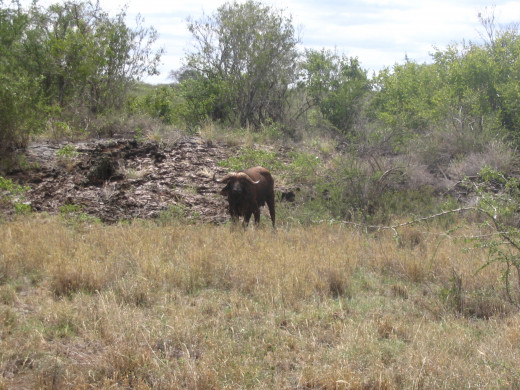 buffalo in tsavo