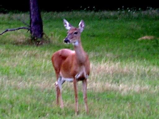 Brown deer seeks company...
