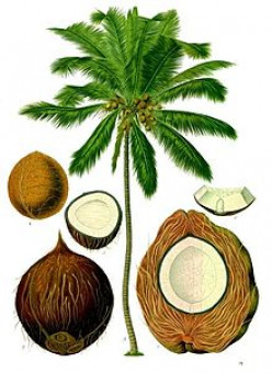 The History and Origin of the Coconut