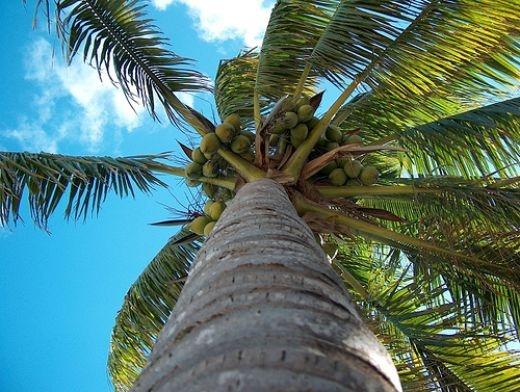 Mature Coconut Palm Tree