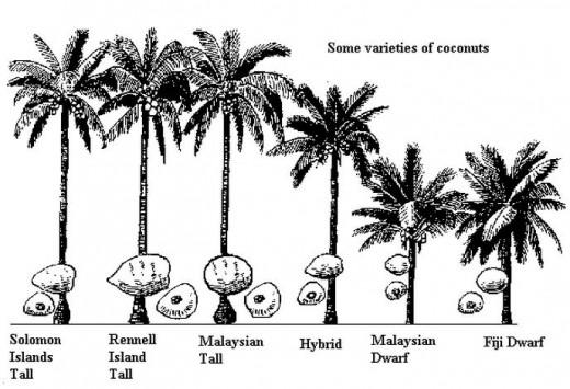 Common Coconut Varieties