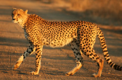 "Don't Be a ""Cheet-ah"" (All About Pet Cheetahs)"