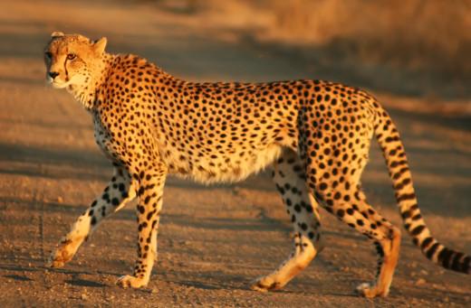 A South African cheetah (A. jubatus jubatus)