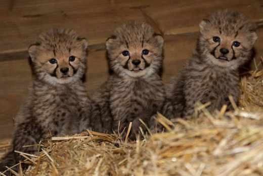 Baby Cheetahs, this is too much cuteness!