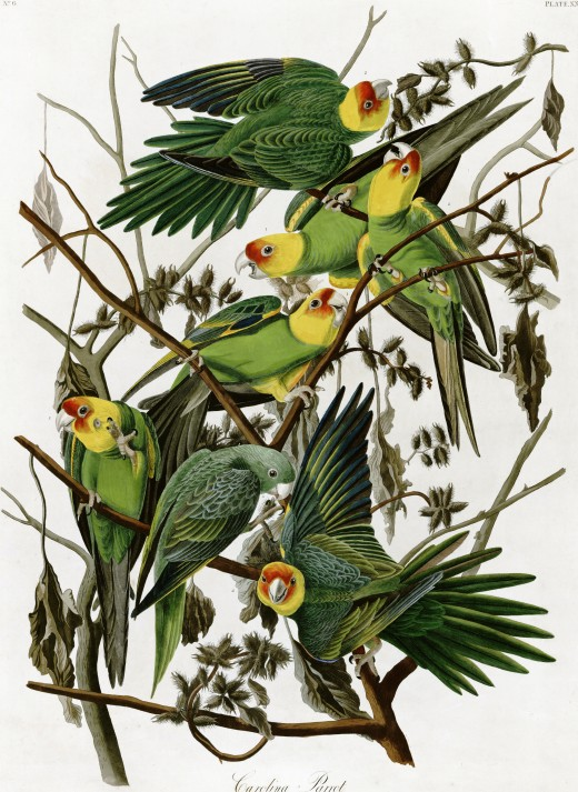 John J. Audubon illustration of Carolina parakeets