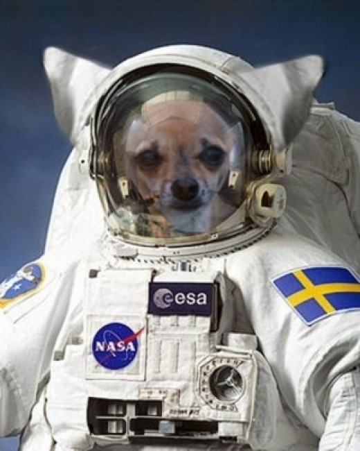 A Chihuahua Astronaut Prepares for an Important Mission