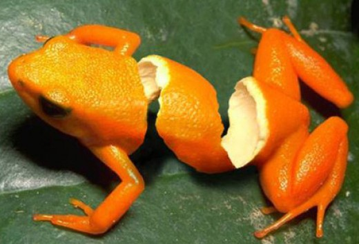 Orange peel frog anyone? This image is so well done that you could really believe that there is a peeled frog out there in some jungle!