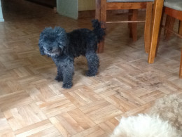 Jackson, one of our toy poodles