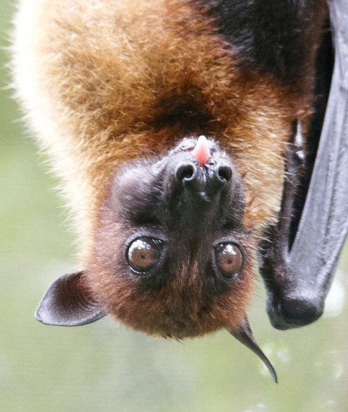 The Large or Malayan Flying Fox and Some Interesting Bat Facts