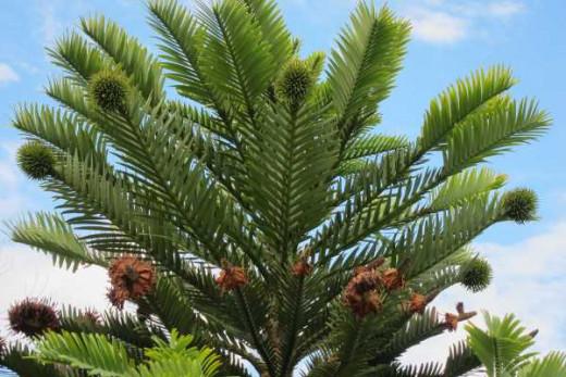 Fern-like foliage of the Wollemi pine