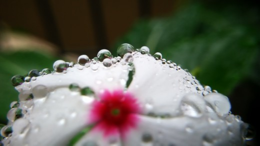 Pearls on the flower (Photography by Hari Prasad.S)