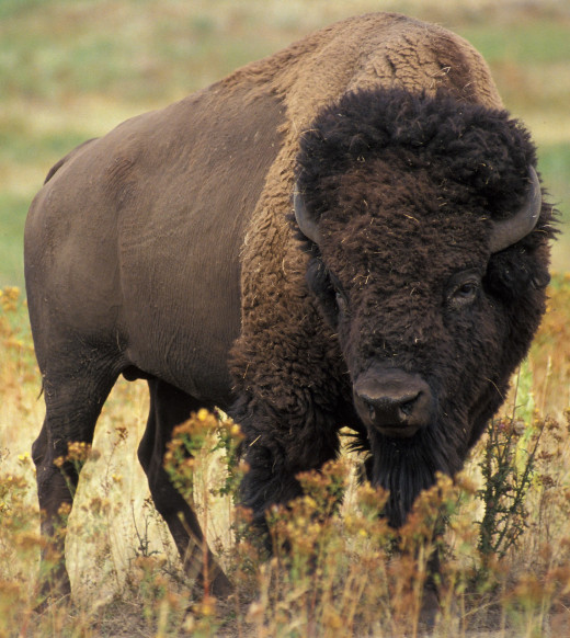 The American bison or buffalo