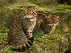 Scottish Wildcat, an endangered species