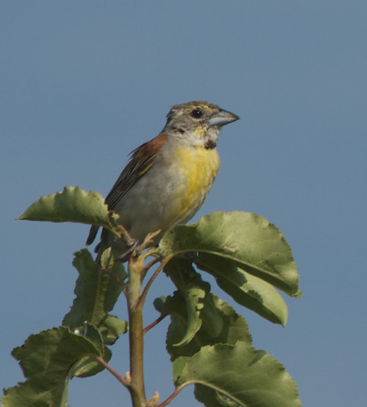The neotropical Dickcissel on December 22?  It is recorded on eBird in Eastport, Maine!