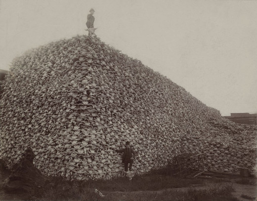 Buffalo bones waiting to be ground into fertilizer in the 1870s