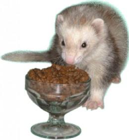 Utensils are optional when it's dinnertime for ferrets.