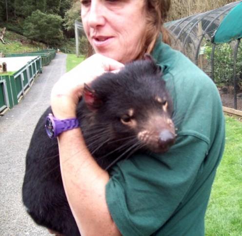 Tasmanian Devil with keeper, Gunns Plain Zoo, Tasmania.