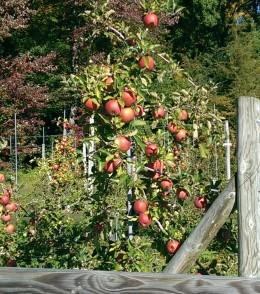 Apple Tree, Norton Bros. Farm, CT
