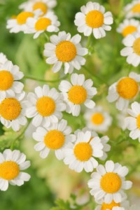 http://www.paiskincare.com/blog/2013/10/04/which-chamomile-extract-is-best-for-the-skin/