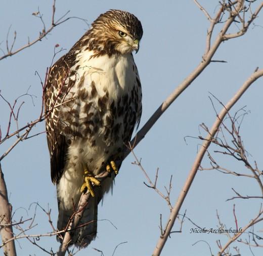 Red Tail Hawk in tree.