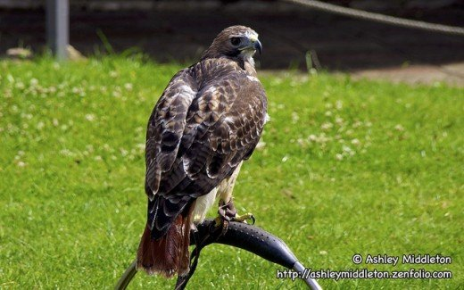 Haggard Red Tail Hawk on bow perch.