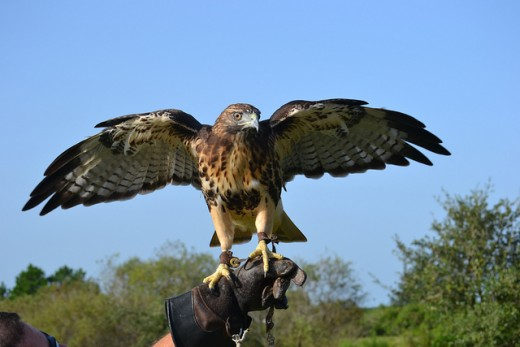 Red Tail Hawk on the Glove.