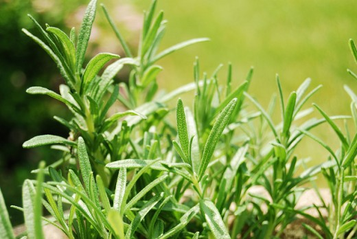 Rosemary an be used to help increase concentration and ease digestive upset.