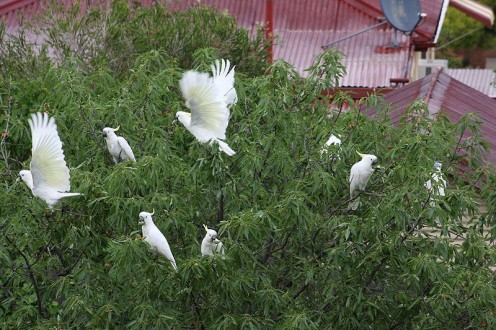 Sulphur-crested Cockatoos eating almonds from an almond tree in Australia.
